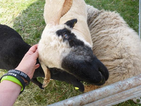 Schaf und Lam
