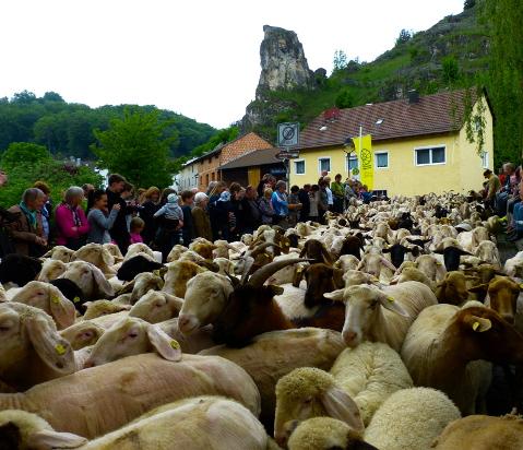 Schafauftrieb